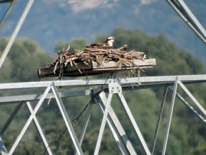 Productivity is related to nest site protection and nesting substrate in a German Osprey population